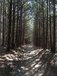 Tree-lined path in the forest